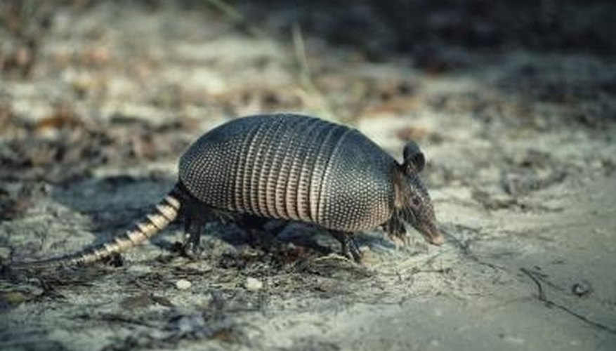 Armadillos create serious structural problems for buildings.