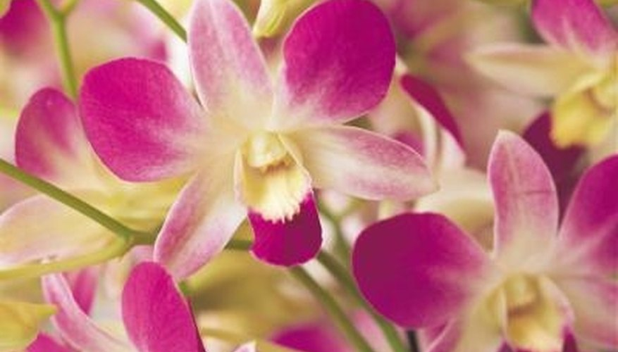 Orchids may rebloom after three to four months.