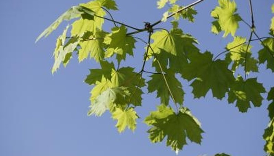 Maple trees bring three seasons of visual interest and shade to yards and streets.