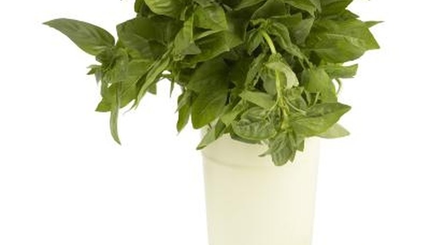 Pinch basil back to prevent flowering.