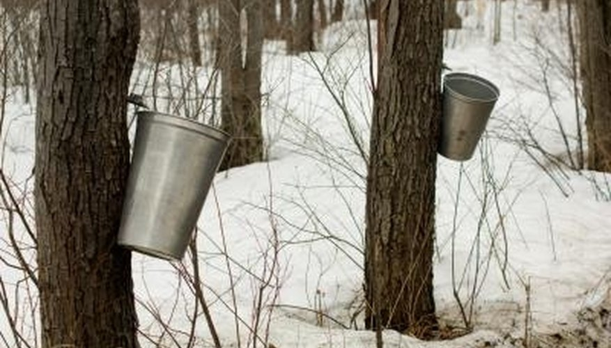 Sugar and black maples are tapped for syrup.