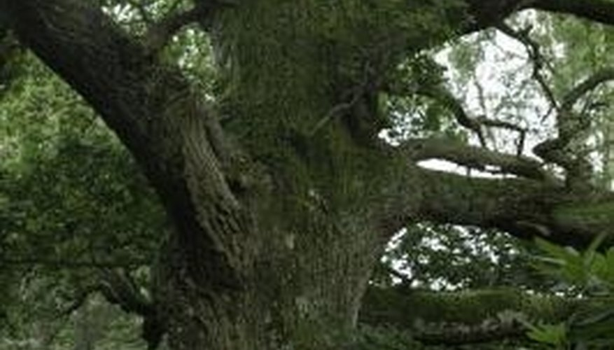 Plant oak trees at least 4 to 5 feet away from any paved surfaces.