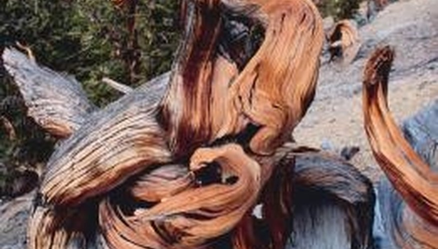 Bristlecone pines are long-lived, high-altitude trees that thrive in harsh growing conditions.