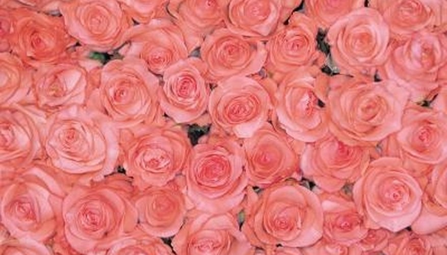 The position of the petals atop the rose stem are mathematically arranged in rational order called the
