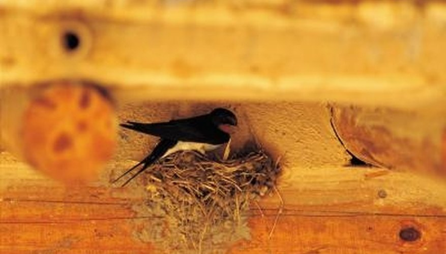 Swallows build sticky nests on any flat, covered surface.