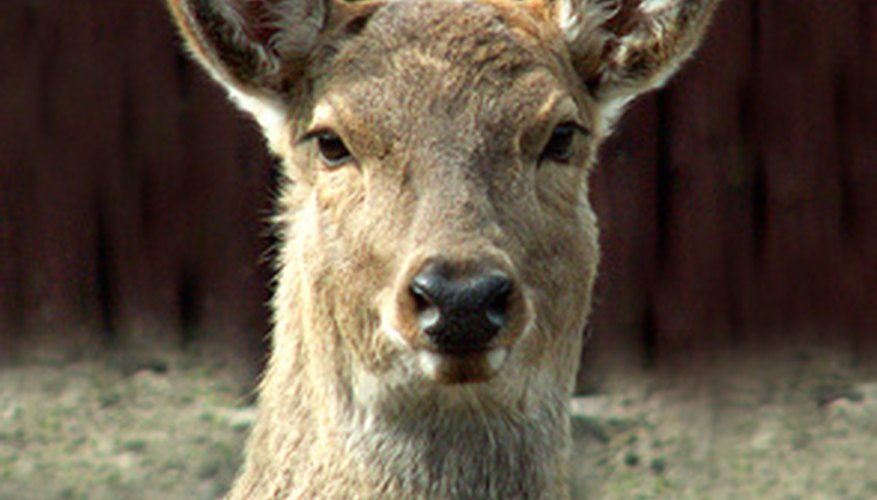 Overpopulation of deer is a serious problem in many parts of the United States.