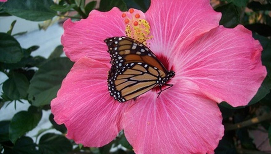 This butterfly can distribute pollen to other flowers.
