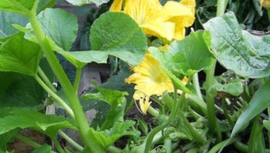 Keep your squash plants healthy by preventing some problems that cause yellow leaves.