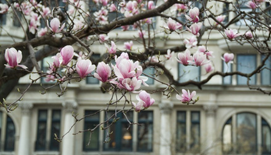 The Magnolia tree in bloom is attractive.