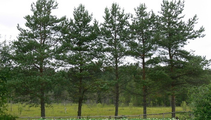 Pine trees have certain features that will help you identify them.