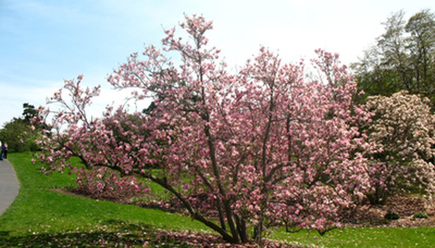Healthy magnolias require little feeding.