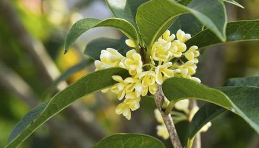 Tea olive flowers fill gardens with fragrance all winter.