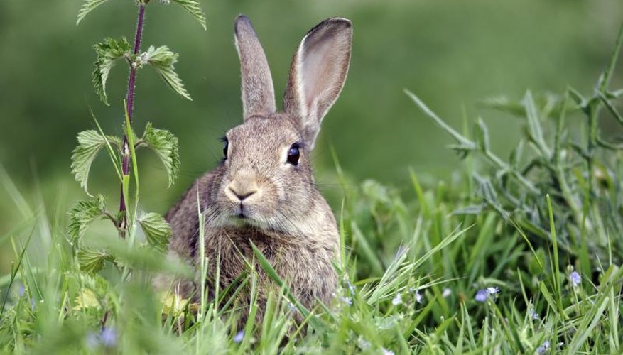 Indian hawthorns are resistant to rabbits.