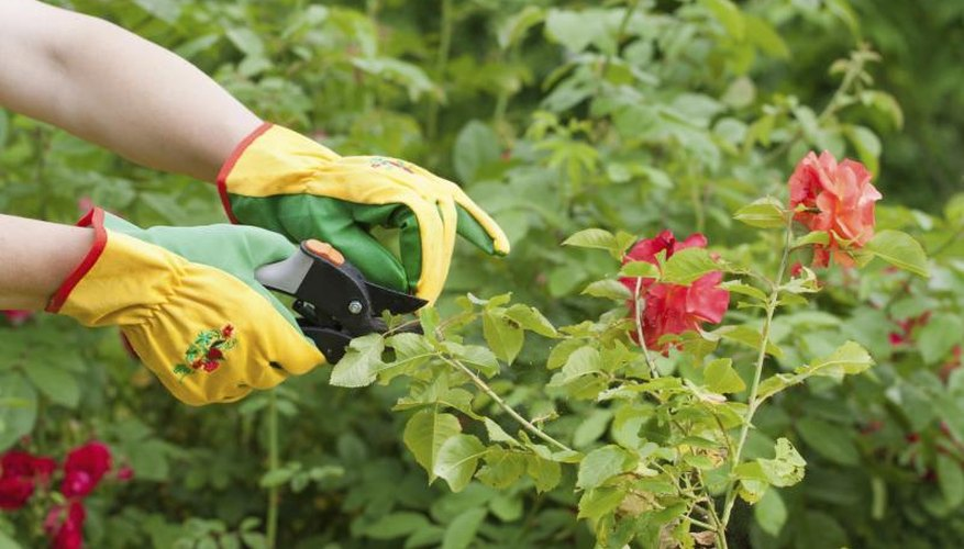 Wear gloves to protect your hands from the thorns while deadheading.