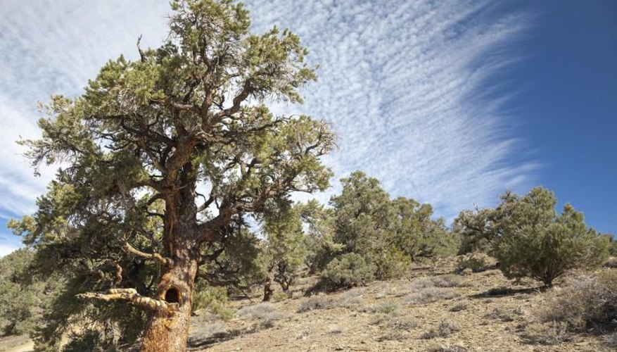 A pinyon pine tree grows on a mountainside in California.
