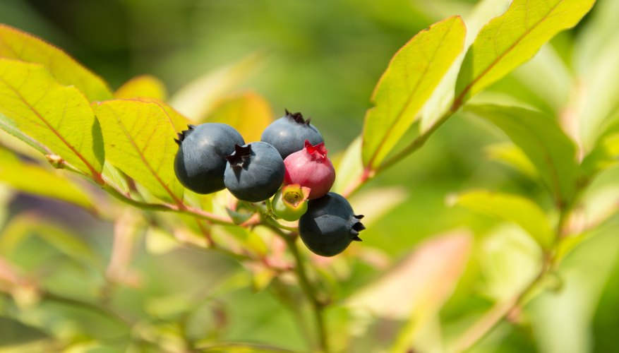 Rabbiteye blueberries are about 6 feet tall.