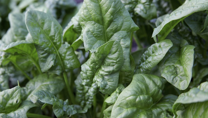 True spinach flourishes in cool weather.