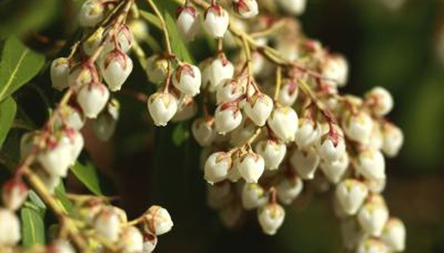 Andromeda is sometimes called  lily-of-the-valley bush  for its flowers.