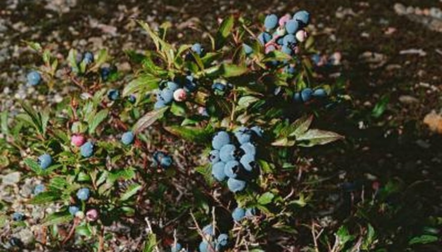 Brown leaves on a blueberry bush could be the result of stress or disease.