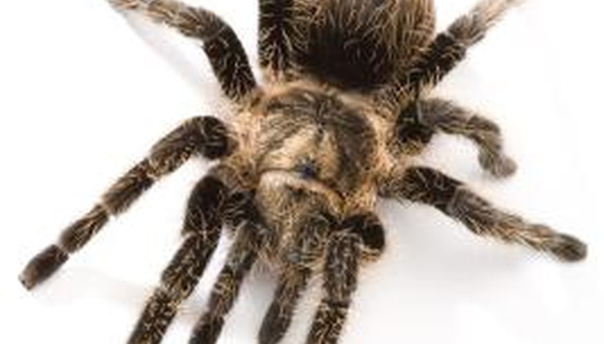 Spiders belong to the class Arachnida.