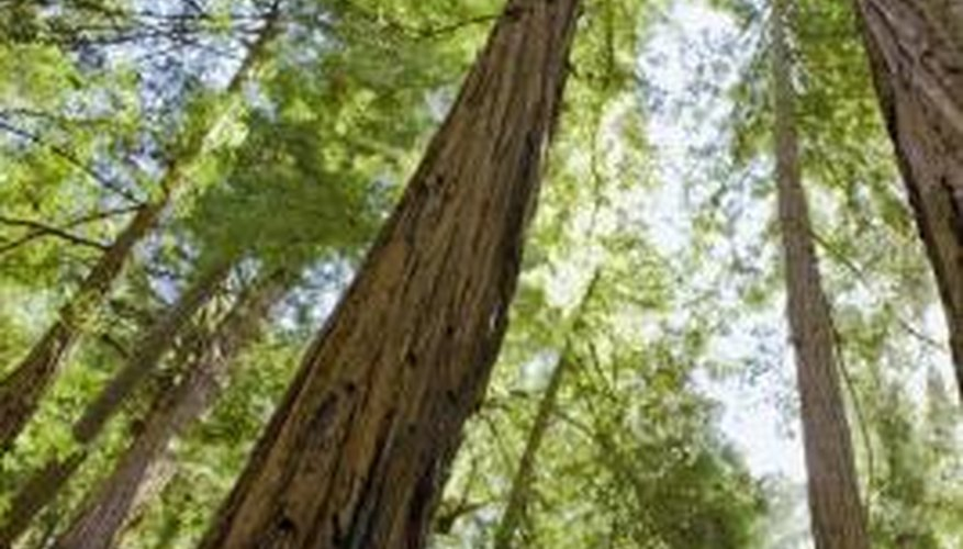 Redwoods are among the tallest trees on earth.