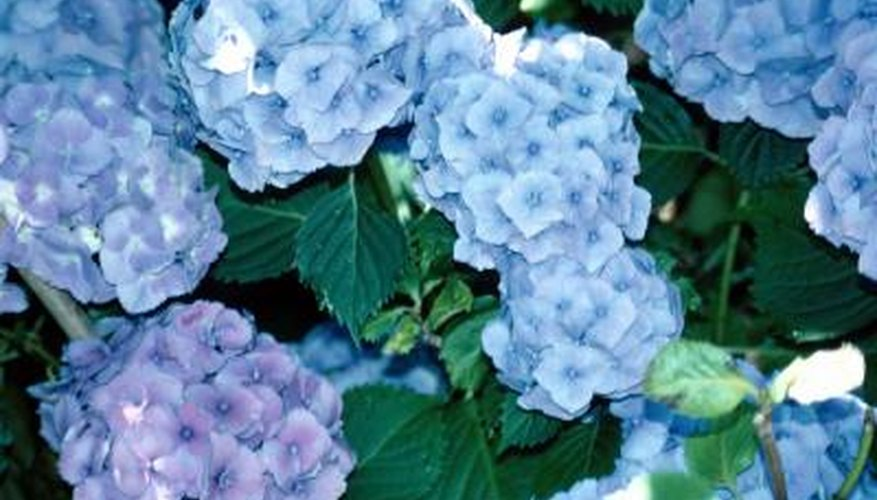 Bigleaf hydrangeas growing in acidic soils have access to aluminum, which turns flowers blue.