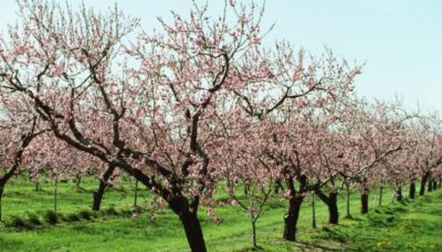 Peach trees need loving care to avoid pest problems.