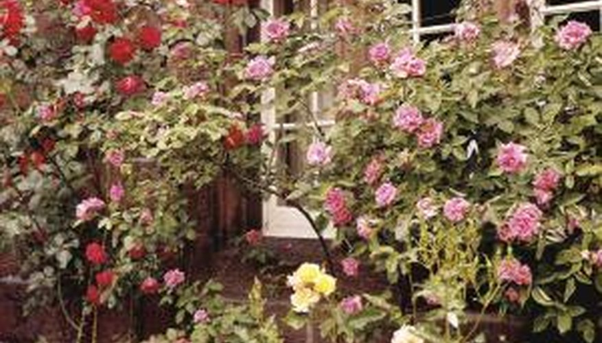 Rose collars can help roses survive winter.