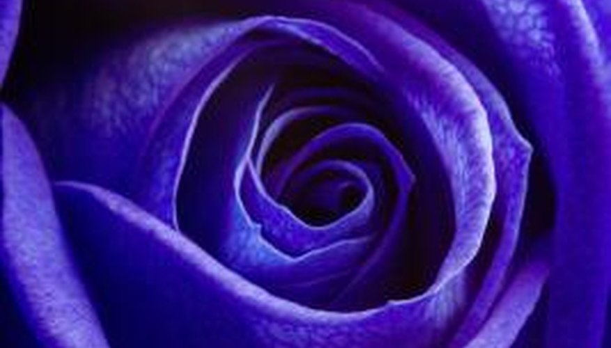 Blue roses will give your garden an exotic look.