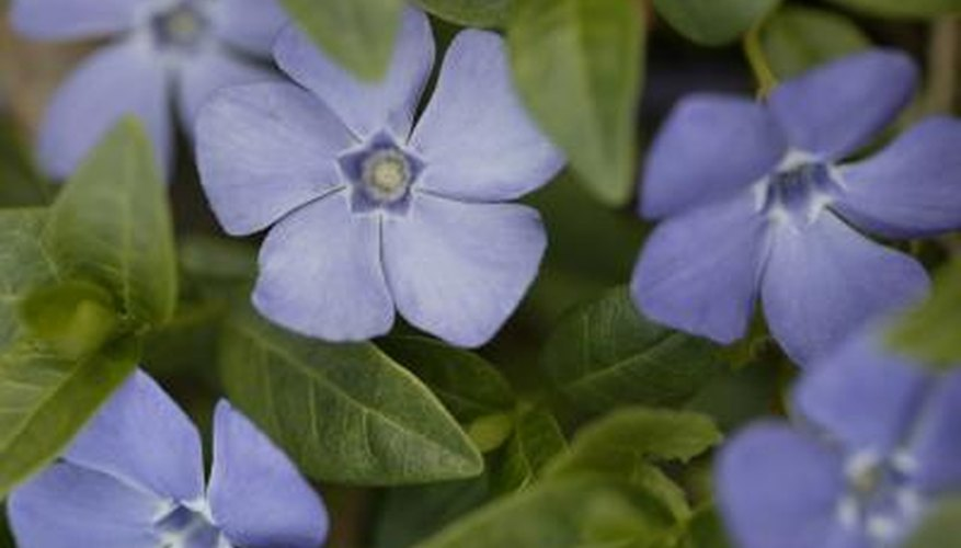 Periwinkle plants are good for rock gardens and perform well in containers.