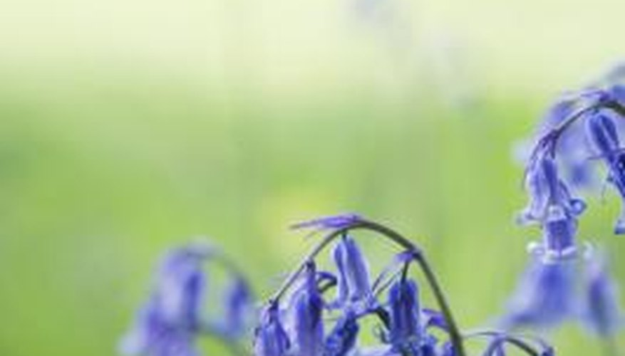 Bluebells are only one of the hardy perennials that grow in Missouri.