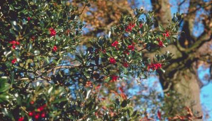 Holly have high nutritional needs and proper fertilization will keep them healthy.