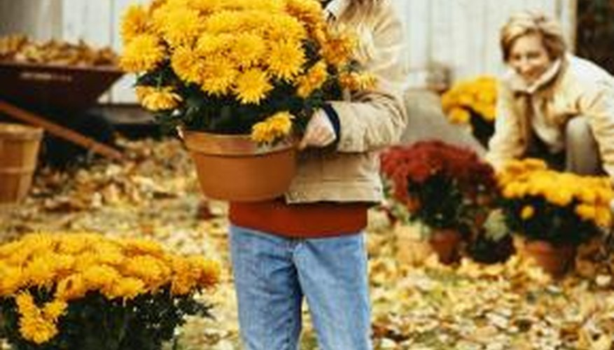 Mums brighten fall displays with their mounds of blooms.
