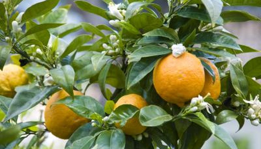 branch of organic orange tree