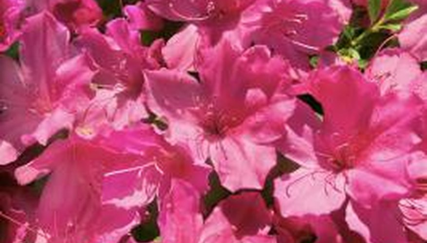 Some azaleas bloom throughout the year.