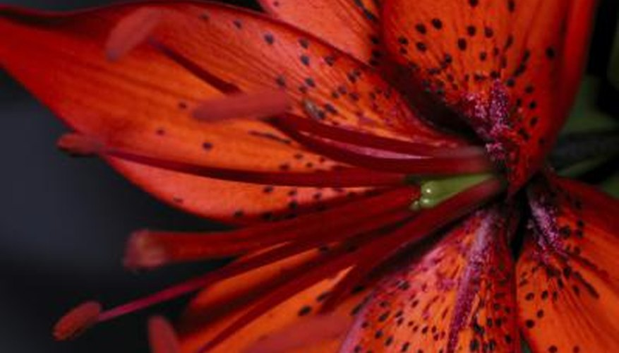 A dark orange-red tiger lily.
