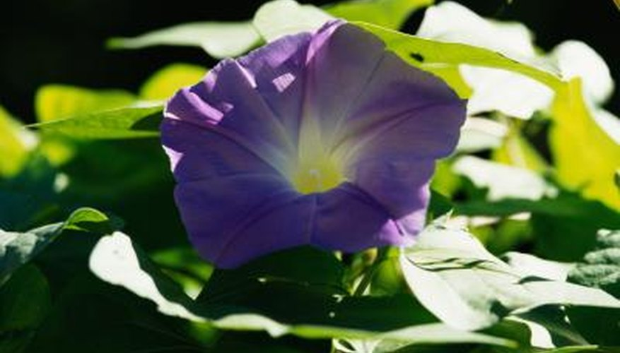 Morning glory are susceptible to aphids and spider mites.
