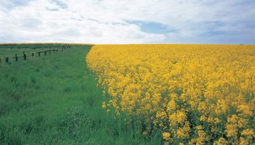Rapeseed typically is grown on a commercial level.