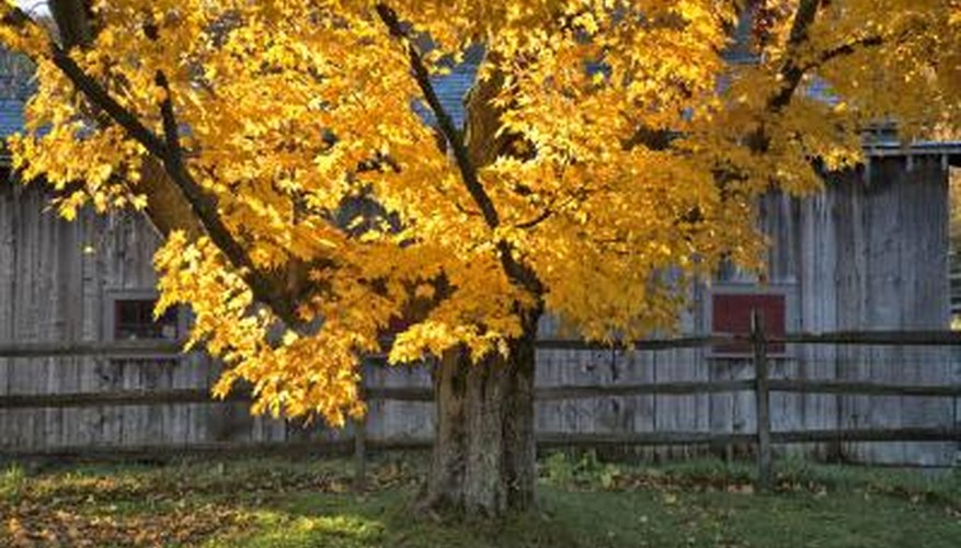 The maple tree family offers many variations in growth rate.