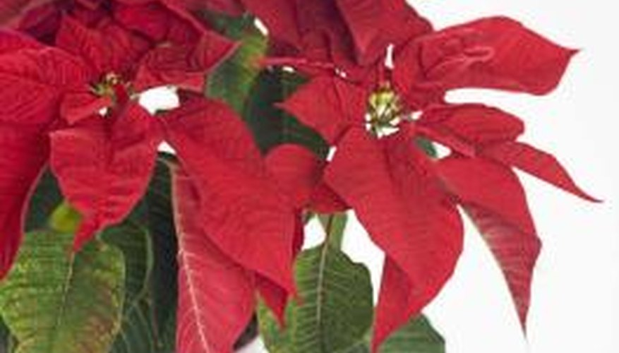 Poinsettias may weaken and die if plagued by whiteflies.