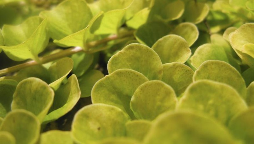 Creeping jenny is deciduous in cold climates and semi-evergreen in mild areas.