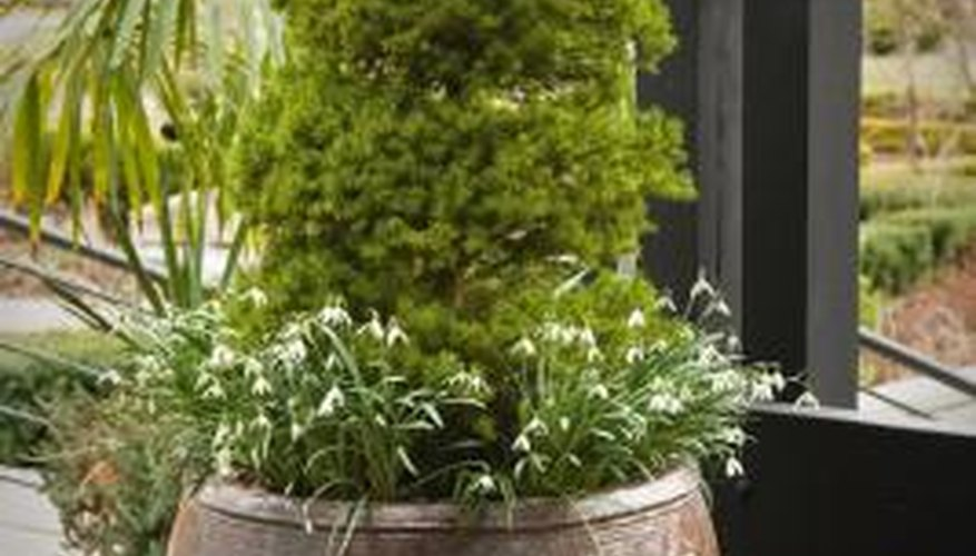 Miniature evergreens can also be grown in containers.