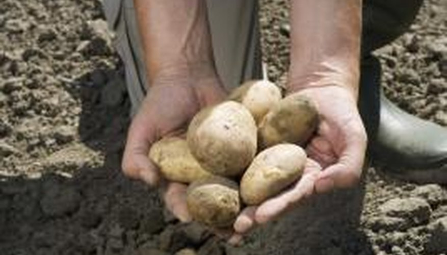 Potatoes can be harvested at the end of summer.