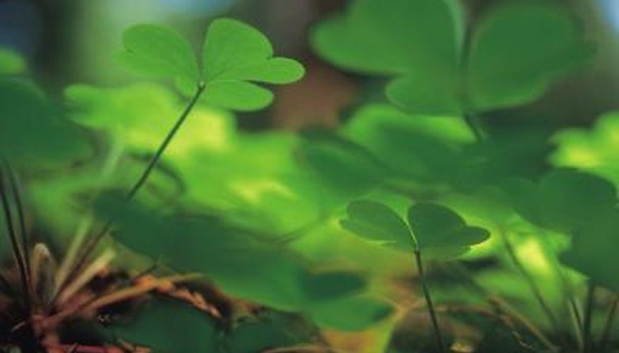Some types of shamrock may appear like floating butterflies.