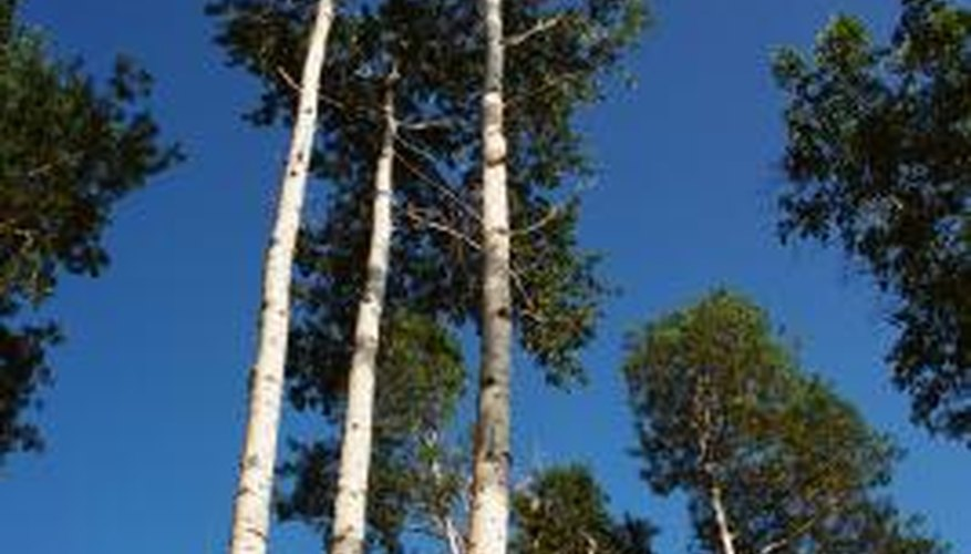 Poplar trees, such as aspens, are fast-growing.