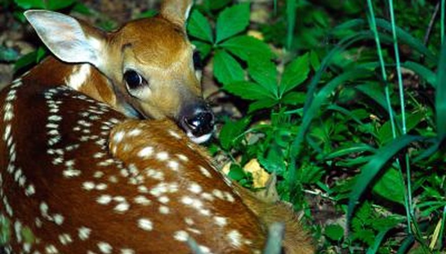 Inexpensive scented soap repels deer.