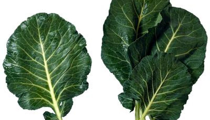 The succulent, tender leaves of collard greens are a favorite feast for aphids.