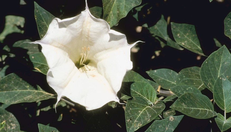 Datura or Jimsonweed often grows wild.