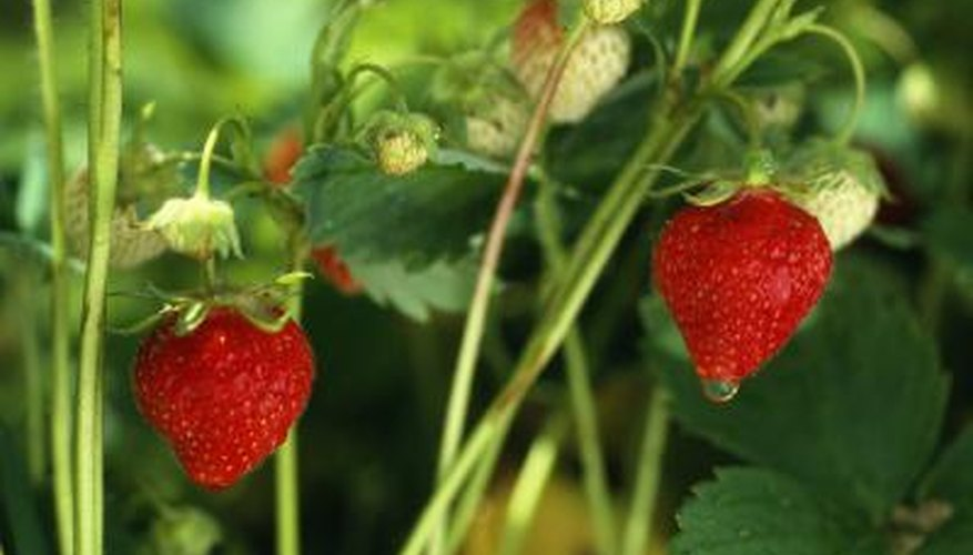 Proper spacing for strawberry plants depends on the variety you choose.