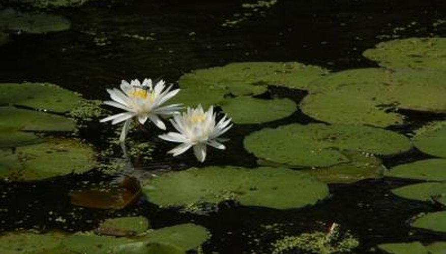 Lotus plants grow readily in the proper environment.